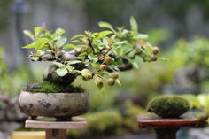 bonsai đẹp Xúc Cảm Garden