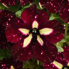 Headliner™ Starry Sky Burgundy Petunia
