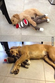 Sometimes it can be difficult giving up childhood habits. #Golden #Retriever