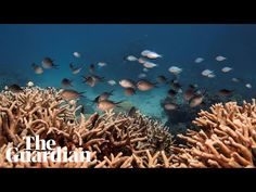 Unesco rejects claim by Australia and 11 supporters that process wasn't followed over Great Barrier Reef Great Barrier Reef, Natural Wonders, Ecology, Australia, Nature, Bbc News, Pictures, Volunteers, Content