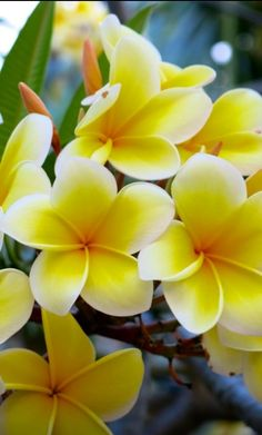 Plumeria! Beautiful #flora #flowers #gorgeous Need to get another one of these plants =)