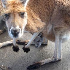 Kangaroo and Joey Kangaroo, Family Travel, Vacations, Australia, Adventure, Animals, Animales, Vacation, Animaux