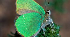 GREEN SHEEN  The green hairstreak butterfly's color is due to a nanoscale surface on its wings that reflects light. Researchers have now re-created this structure in the lab.  ~~ ATOSF/ISTOCKPHOTO