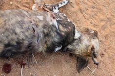 African Wild Dog killing