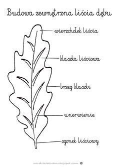 Budowa liścia dębu www.dzieciakiwdomu.blogspot.com