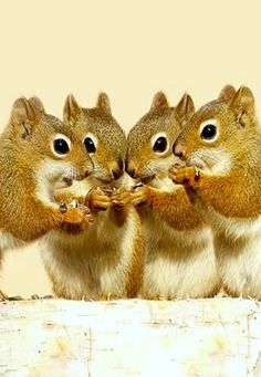 The Breakfast Club ❊:  Squirrels mainly eat seeds, nuts, fungi and fruits. Some squirrels will also eat small insects and even young snakes.