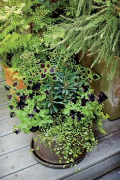 Eye-Catching Purple Pot - Best Ideas for Fall Container Gardening - Southernliving. This mix of coleus, wire vine, euphorbia, lysimachia, and petunias creates a striking deep purple-and-chartreuse color palette.