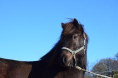 Islandpferde-Verkauf » Dýri vom Burrishof - Burrishof Islandpferde- und Fjordpferde-Gestüt