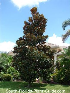 Southern Magnolia Tree (Blanchard), make a privacy screen using them in the corner of the backyard