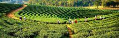 Darjeeling-Plantations