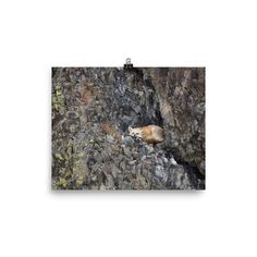 Photo paper poster with adorable red fox on the rocks.