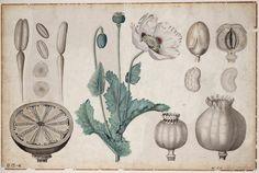 Opium poppy or Papaver somniferum, botanical wall chart, late - early century. UvA Amsterdam, Via geheugenvannederland Illustration Botanique, Plant Illustration, Botanical Illustration, Botanical Drawings, Botanical Prints, Poppy Drawing, Iris Art, Vintage Poster, Dibujo