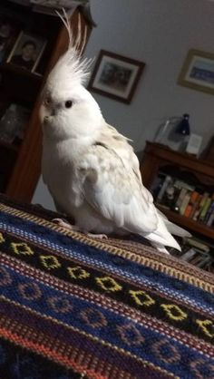 LOST COCKATIEL: 14/12/2016 - Aldinga Beach, South Australia, SA, Australia. Ref#: L38532 - #CritterAlert #LostPet #LostBird #LostParrot #MissingBird #MissingParrot #LostCockatiel #MissingCockatiel
