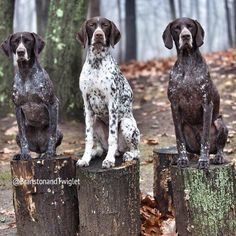 Kippy in the middle #gsp #germanshorthairedpointer #birddogoftheday #birddog #germanshorthair #pointersofinstagram