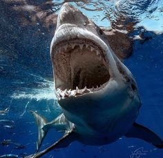 Requinblanc - whiteshark - greatwhiteshark - teeth - tooth - Ocean - nature - Predator
