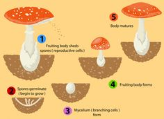 Illustration about Many types of fungi reproduce using spores instead of seeds. Illustration of ecosystem, object, illustration - 40829560 Kid Science, Science Facts, Preschool Science, Science Experiments Kids, Science Lessons, Lessons For Kids, Mitosis, Montessori Activities, Activities For Kids