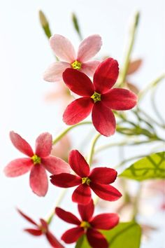 Pretty little red blossoms: