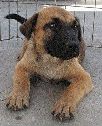 1000+ images about Bull Mastiff mix on Pinterest | Mastiff ...