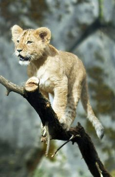 """A Lion Cub:  """"On His Way Up."""""""