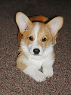 Corgi Puppies are All Ears!