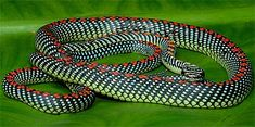 chrysopelea paradisi; Flying Snakes - Sky Diving Reptiles
