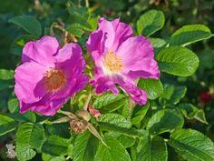 Die Apfelrose ist eine robuste Wildrose, die durch ihre duftenden rosa-pinken, zum Teil auch weißen Blüten und im Herbst besonders durch ihre prallen Hagebutten gefällt.