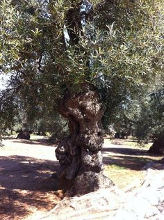 #Olive tree in Puglia - South #Italy