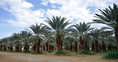 The crops of 300 different kinds of dates will be on sale in 'Date Souq', and the palm waste will be used in making handicrafts related to the local heritage.