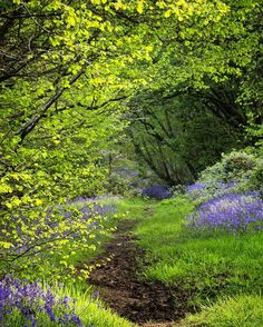 Paradise in Spring. Flisteridge Wood Bluebells, Malmesbury, Wiltshire, England by Stuart Madeley Beautiful World, Beautiful Places, Beautiful Forest, Terre Nature, Wild Bluebell, English Countryside, Garden Cottage, Pathways, Beautiful Landscapes