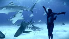"wild-guy: """"In a performance protest against the Australian shark cull and the global slaughter of sharks, a woman risks it all to dance on the sea floor with swarms of tiger sharks up to 17 feet long..."