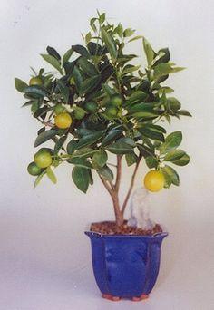 Orange Citrus Bonsai Tree ~ maybe a good way to get fresh oranges in Utah Bonsai Orange Tree, Bonsai Fruit Tree, Buy Bonsai Tree, Bonsai Tree Types, Bonsai Art, Bonsai Plants, Bonsai Garden, Garden Trees, Fruit Trees