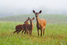 Mother and fawns in the Smoky Mountains.