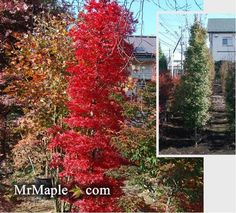 small thin columnar trees for hedging Columnar Trees, Deciduous Trees, Trees And Shrubs, Flowering Trees, Trees To Plant, Tall Skinny Trees, Trees For Front Yard, Garden Forum, Privacy Trees