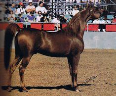 EXCELADDINN - U.S., Canadian, and Scottsville Champion Stallion