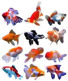 Types of Goldfish - Bing Images Goldfish Species, Goldfish Types, Betta Fish Types, Baby Goldfish, Comet Goldfish, Ocean Aquarium, Tropical Fish Aquarium, Fish Tank Themes, Watercolor Fish