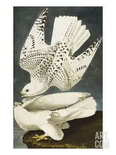 Iceland or Jer Falcon. Gyrfalcon (Falco Rustiocolis), from 'The Birds of America' Art Print by John James Audubon at Art.com