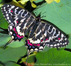 The Dragon Swallowtail (Sericinus montela) is a member of the subfamily Parnassiinae of the Swallowtail (Papilionidae) family. It is found in the Russian Far East, Korea, China and Japan.