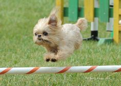 Brussels Griffon--probably how Mr Pickles looked as a pup.