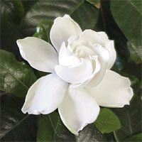 Is there anything that comes close to the scent of rain-kissed gardenia blossoms on a summer's night? One day,  I am going to have a whole wall of gardenias.