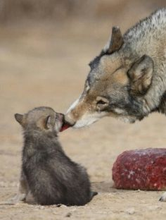 Awe, that's so sweet, I love wolves:)