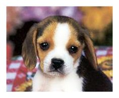beagle puppies - Google Search