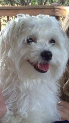 Bentley ~ 11 mths - Maltese Puppy