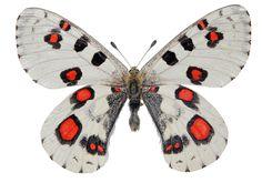 Vlinders van Kawasaki