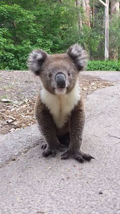 A Koala Visitor! Country Lane in Stirling, South Australia.