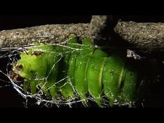 Mesmerizing Time Lapse Footage That Shows Luna Moth Caterpillar Weaving Cocoon Around Itself