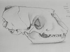 Seal skull