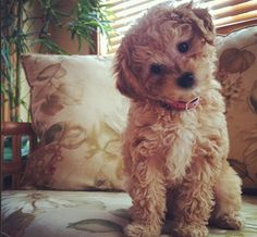 Miss Ginger. Apricot toy poodle