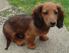 If my future husband wants a dog this is the kind of dog we are getting: a long haired mini dashund. So cute!