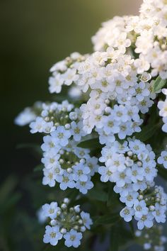 Sycamore by Manabu Oda Garden: Flowers & Plants (CTS) Amazing Flowers, White Flowers, Beautiful Flowers, Moon Garden, Language Of Flowers, White Gardens, Belleza Natural, Trees To Plant, Garden Inspiration