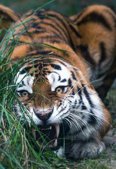 Big Siberian Tiger By MIke Kolesnikov